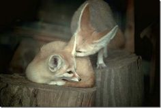 """""""i have to tell you a secret""""    (fennec foxes)"""