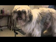 Just in Case:  How to Groom a Matted Shih Tzu by Jun the Groomer and he does a great job explaining.