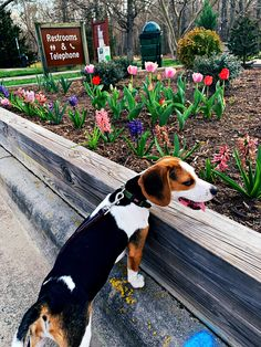 Baby Beagle, Beagle Puppies, Beagles, Boston Terrier, Life Is Good, Cute Animals, Fur, Dogs, Photos
