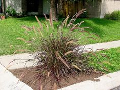 Full size picture of Rose Fountain Grass, Purple Fountain Grass 'Eaton Canyon' (Pennisetum setaceum) Red Fountain Grass, Eaton Canyon, Pennisetum Setaceum, Wholesale Nursery, Famous Daves, Drought Tolerant, Red Riding Hood, Shrubs, Perennials