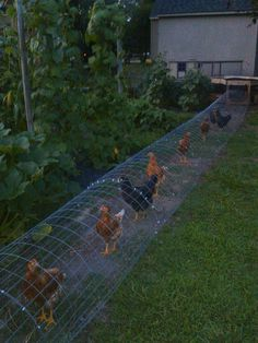 "THE CHUNNEL! Suburban or urban homesteading and farm. Our chickens in their DIY chicken run tunnel. We live in a residential area, so to keep the chickens protected from hawks, dogs and other predators (and to keep them out of our neighbor's yard) we hook up their portable play-pen to the run and let them range. Easily crafted from 2"" welded wire fencing, cut to 54"" length and sod staples to anchored to the ground, and dollar store zip ties to hold the sections together."