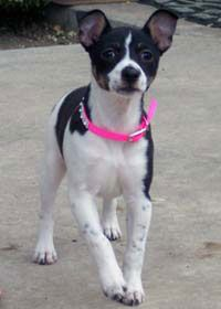 Dog profile for Opal, a female Rat Terrier