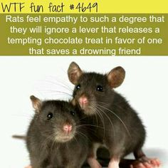 WTF Fun Facts is updated daily with interesting & funny random facts. We post about health, celebs/people, places, animals, history information and much more. New facts all day - every day! Wtf Fun Facts, Funny Facts, Rat Facts, Random Facts, Fascinating Facts, Funny Gifs, Videos Funny, Random Things, Funny Jokes