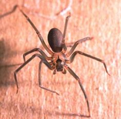 Brown recluse spider: I am a fan of all creatures great and small, but if you find this spider in your home, just squash it. They will not jump or fly at you, but if you accidently brush into one, you will not likely notice the bite, but you will the subsequent wound.