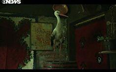 Cegonha boêmia vira frequentadora assídua de uma bar na Sérvia