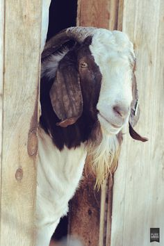 Good briefed goat raising tips Start Your Free Trial Farm Animals, Animals And Pets, Cute Animals, Boer Goats, Goat Farming, Chickens Backyard, Cattle, Animal Photography, Animal Kingdom