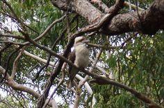 A Aussie Cookaburra