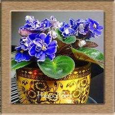 Big Sale!10 PCS/Lot Variety of Colors Violet Seeds Garden Plants Violet Flowers Perennial Herb Matthiola Incana Seed,#KIE5KP