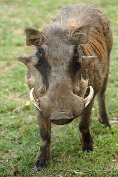 african animals | Animal Spotlight: The Warthog