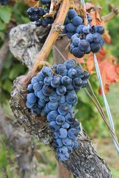 *grape vines