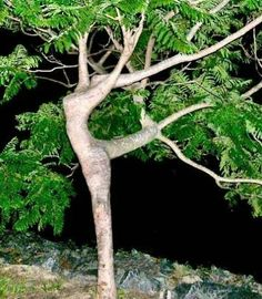 árbol bailando!!........I just love nature