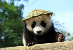 Got the look: This baby panda cub was the spitting image of animated Hollywood royalty Kun...