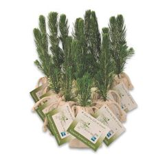 Blue Spruce Tree Plug from http://www.schoolspiritstore.com/school-supplies-and-fun-stuff/plant-a-tree-cards/
