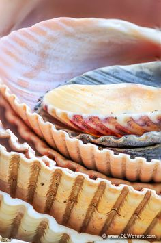 ~ Cose up photograph of a stack of scallop shells collected on Kitty Hawk beach Outer Banks North Carolina ~