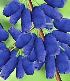 """Junibes De heerlijk zoete en fruitage smaak van de junibessen verleidt tot snoepen, direct """"van de struik in de mond"""". De vruchten ..."""