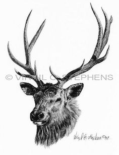 Elk, Arizona Big Ten game animals pencil drawing by western Artist Virgil C. Stephens