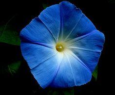 Blue Velvet   by flipkeat