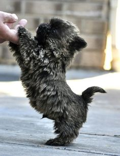 Cairn Terriers are adorable