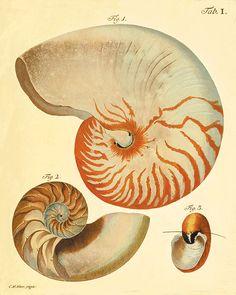 Antique Sea shell art print vintage nautical art print sea art print Ocean print Antique wall art beach Sea beach art Victorian art print by VictorianWallArt on Etsy https://www.etsy.com/listing/180046706/antique-sea-shell-art-print-vintage