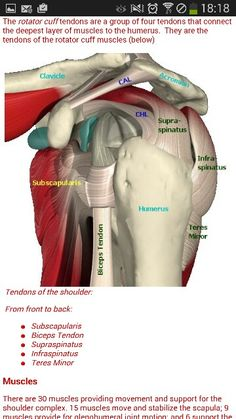 surprised we don't suffer more shoulder problems with the complexity of it! Muscle Anatomy, Body Anatomy, Dor Cervical, Shoulder Anatomy, Shoulder Rehab, Muscle And Nerve, Reflexology Massage, Human Anatomy And Physiology, Oral Surgery