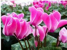 Come curare i ciclamini - Idee Green Coral Garden, Garden Accessories, Indoor Plants, Garden Design, Landscape, Rose, Green, Outdoor, Hobby