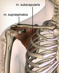 schouder rotatorcuff spieren supraspinatus subscapularis spier voorzijde