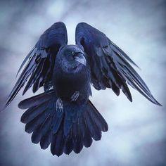 """Niko Pekonen (@npekonen) on Instagram: """"Raven (corvus corax) in flight. Finland #WildGeography #GlobalDaily #bella_shots #elegantanimals…"""""""