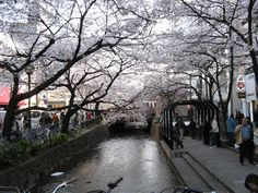 In the heart of Japan rests the cherry blossom,That time of year when Japanese search for solace and respite.For some it is joy,For others a sad reflection. Children run with glee,And teenagers discover who they are.Adults reflect on its placid beauty,And the elderly walk down memory lane. The pink and white petals lace the earth,And shimmer in the night sky.Some shape the heart,And others show us who we are. Early April comes and goes too quickly,So foreigners beware when time is near.Each…
