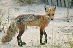 Steven Pinker's photos of Cape Cod / red fox