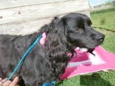 Nicki is an #adoptable Cocker Spaniel Dog in #LosBanos, #CALIFORNIA. If you would like to meet this pet please call the Los Banos Animal Shelter at 209-827-7089. The shelter is located behind the runway at the ...