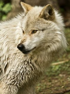 ☀Grey Wolf by Jordan Crowe Are you ever going to shut up *PurdyGirl*