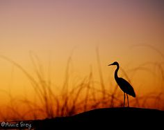 A heron I caught standing guard as the sun went down...