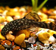 This juvenile ancistrus pleco will only reach and is a good algae eater for a medium-sized tank. Plecostomus, Beautiful Fish, Aquarium Fish Tank, Medium, Life, Medium Long Hairstyles