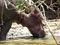 Die Jungbullen leben oft getrennt von der Herde, sie sind nicht sehr verträglich und es kann zu wilden Kämpfen kommen. isimgaliso, isimangaliso wetland park, südafrika, kwazulu natal, südafrikareise, südafrikarundreisen Safari, Bullen, Hippopotamus, Park, Animals, Cape Town, Separate, River, Travel Advice