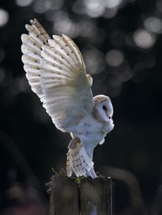 "radivs: ""Barn Owl by Pat Killelea """