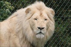 White Lion  ~Google Image Result for http://news.bbc.co.uk/media/images/46520000/jpg/_46520278_white_lion_head.jpg