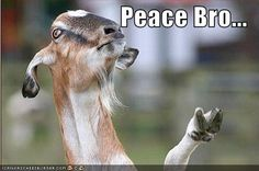 Funny Goat Pictures Animals | funny-pictures-goat-gives-peace-sign