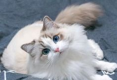 Fantastic Free of Charge Ragdoll Cats shorthair Concepts The massive, weak Ragdoll is often a loving accessory for almost any puppy significant other's home. Animals And Pets, Baby Animals, Funny Animals, Cute Animals, Cute Cats And Kittens, I Love Cats, Kittens Cutest, Pretty Cats, Beautiful Cats