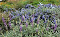 Lupinus chamissonis - Beach Lupine, Ceanothus 'Joyce Coulter', Leymus condensatus 'Canyon Prince', Cercis occidentalis, Salvia leucophylla 'Point Sal Spreader'.