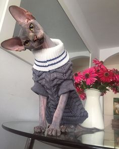Sphynx cat is a special breed of cats that constantly need warmth. I present to you 15 warm clothes for Sphynx cats. I Love Cats, Crazy Cats, Cute Cats, Pretty Cats, Beautiful Cats, Gato Sphinx, Cute Baby Animals, Funny Animals, Funny Cats