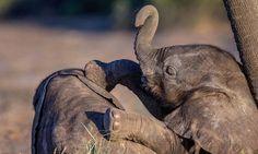 Baby elephants knock each other over in Botswana