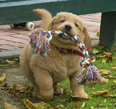Chubby Golden Puppy. I'm dying he's so cute!!!