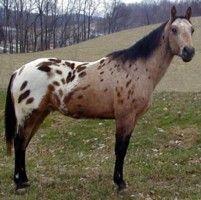 An Appaloosa of many color's! All The Pretty Horses, Beautiful Horses, Animals Beautiful, Cute Horses, Horse Love, Animals And Pets, Cute Animals, Horse Coat Colors, Horse Markings