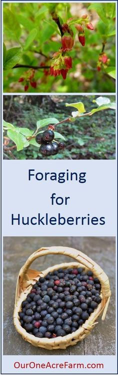 How to identify, where to find, how to harvest, and how to use huckleberries (genus Gaylussacia). These are not blueberries, but true huckleberries, which are not produced in cultivation. Plenty of photos to show how to ID plant.