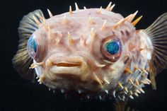 Meet our new orbicular burrfish! #AnimalUpdate