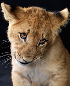 Adorable lion cub <3