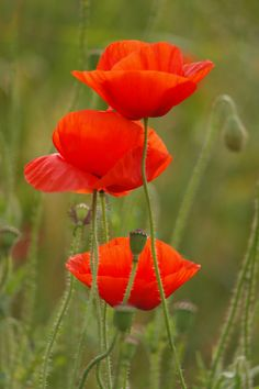 Beautiful Nature Pictures, Beautiful Flowers, Lavender Flowers, Wild Flowers, Poppy Drawing, Wild Poppies, Watercolor Poppies, Photo To Art, Cactus Flower