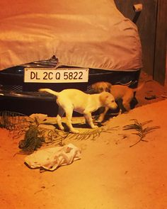 Pups for adoption #Delhi These pups are about 2 months old healthy and playful. Presently living dangerously on the street where they are at great risk - it would be an act of kindness to give them forever homes; in return you will have a loving and loyal companion for years to come! Please call 9811359313 if you'd like to take them home.  #adoption #adopt #dog #doglovers #dogsofinstagram #dogs #pets #instapuppy #puppies #cute #adoptdontshop #dontshopadopt