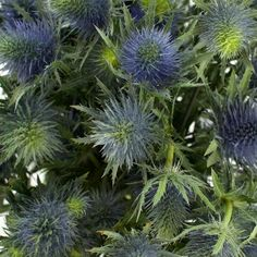 Blue and green thistle.