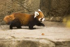 After growing in size and strength, Lincoln Park Zoo's first-ever Red Panda cubs Clark, a male, and Addison, a female, are now in their outdoor exhibit!5